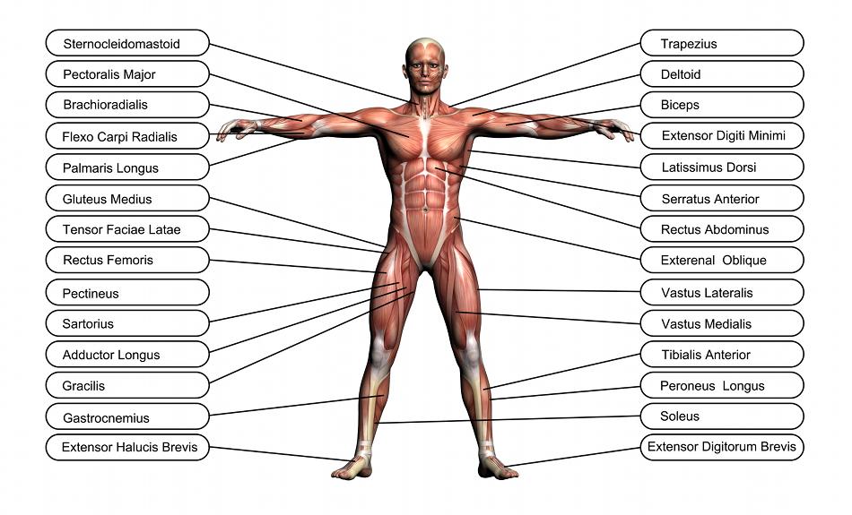 muscles stabilisateurs